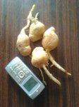 Свежая картошка пускает ростки