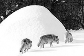 Серый волк под горой? Сообщите - и домой